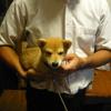 柴犬の食事【ドッグフード】