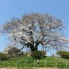 醍醐桜と樽見の仙桜