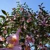 山茶花(サザンカ)ピンク花