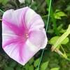 白にピンクのストライプ開花