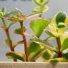 あたらしい植物サルメントーサとアイビーが加わりました