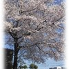 〈どれみ〉桜の木