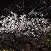 企業と面接 & 近所で夜桜見物