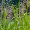 夏至のオオヨシキリ