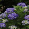 聖崎公園の紫陽花