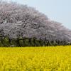 ピンクと黄色、桜と菜の花+青空 奈良・藤原京跡