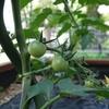 トマト らせん支柱の効果