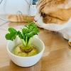 大根の葉っぱで、お手軽家庭菜園。もしや猫草感覚で食べられちゃうのか?