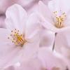 2019年に撮影した、あちこちの桜。 #EOSM6 #桜