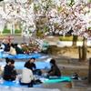 秋田県の春はここから始まる♪にかほ市勢至公園の観桜会がスタート♪(4月6日から)