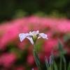 近場の公園で「花菖蒲」を楽しむ