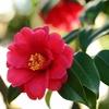 美しい花 椿