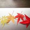 もっとも美しい紅葉は何か  パラドックス