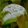 雨にぬれた山茶花