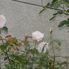 エルフも咲く 2015/05/16