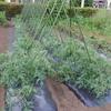 トマトの脇芽整理