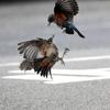 イソヒヨドリの喧嘩の続き