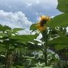 ヒマワリの花が咲いた