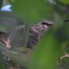 ハチドリ  サンタアナ風  水と環境の話