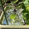 実践!なす 防虫(アブラムシ)対策! プランター栽培 トマト きゅうり なす
