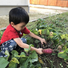 庭でさつまいもを収穫!やきいもしたいけど難しい話-森でたき火に挑戦したこと・ネパールの炊き出しのことも