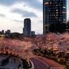 ミッドタウンの桜見てきた!