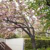 東陽図書館附属の公園の八重桜