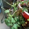 マンションベランダの菜園は、つくづく風とのたたかい。