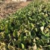 2月の終わりの緑肥