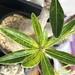 パキポディウム・グラキリスの葉の黄変に翻弄されている話