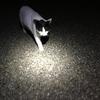 愛猫チロ雄くんとナイトウォーク         ~Night Walk with lovely cat, Chiroo-kun