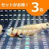 ヤマブキハゼ 3-5cm± 3匹セット 海水魚 ハゼ! 餌付け 15時までのご注文で当日発送【ハゼ】