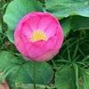 ハスの花を見にいく(1)