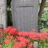 【鎌倉いいね】今年の鎌倉の彼岸花はいつ頃? 9月29日現在