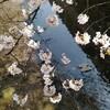 高瀬川沿いの桜