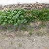 畑から【小松菜】を採ってみました。