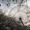天保山周辺 桜