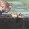7月上旬:世田谷区・駒沢オリンピック公園周辺をお写んぽ。その壱/新しく加わった4羽の雛と親ガモ