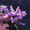 【カワラフサトサカの飼育】初心者向けで飼育しやすいサンゴ