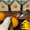文鳥と金柑