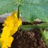 黄色の花が咲いて、おチビのキュウリができました!