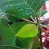 緑になったポインセチアの花を、12月までに赤く色づかせてみようと思います~1ヶ月半経過~