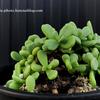 【Ceraria pygmaea】