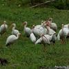 ベリーズ 民家敷地の White Ibis (ホワイト イビス)