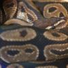 ボールニシキヘビ Python regius