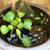 睡蓮鉢でメダカのビオトープにチャレンジ【Vol.4 : ホテイ草への産卵】