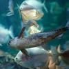ボドワード Pterodoras granulosus