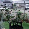 2006 マダム・ジョゼフ・シュワルツ 今日は雨に風が加わって・・・