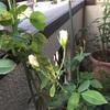 いつも通りごはんとバラの手入れ。