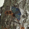 8/11・和泉山地のスミナガシ 〜 雑木林の朝、樹液にやってきたスミナガシが美しすぎました